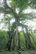 【ブドゥグル公園】パワースポットと言われるガジュマルの木