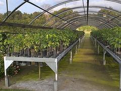 【グリーンウェル・ファームズ】青々と茂る農園のコーヒーの木