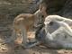 【カランビン・ワイルドライフ・サンクチュアリ】カンガルーの生態を観察
