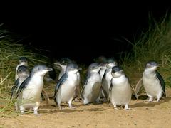 【フィリップ島】名物のペンギンパレード