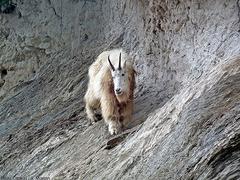 【ヨーホー国立公園】公園内のマウンテン・ゴート