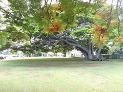 【カアフマヌ教会】第3木曜日の午後からはライブ音楽とフラダンスが無料でこの木の下で開催