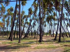 【カプアイワ・ココナッツ・グローブ】カメハメハ5世によるココナッツで聖地を現した