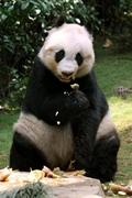 【オーシャン・パーク(香港海洋公園)】メスのパンダ佳佳(ガイガイ)