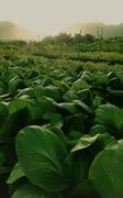 【カフマナ・オーガニック・ファーム・アンド・カフェ】カフマナオーガニックファームの野菜イメージ