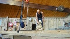 【アグロ・ドーム】羊の毛刈り実演