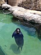 【ワイキキ水族館】絶滅危惧種のハワイアンモンクシール