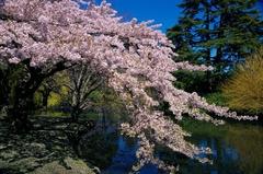 【ビーコンヒルパーク】春には桜を見ることもできる