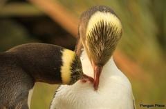 【ペンギン・プレイス】イエローペンギン
