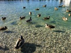 【ワカティプ湖】優雅に泳ぐかも
