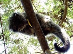 【パラワン野生生物保護センター/クロコダイルファーム】ベアキャット