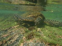 【カハルウ・ビーチパーク】ウミガメは岩場の浅瀬に藻を食べにくる