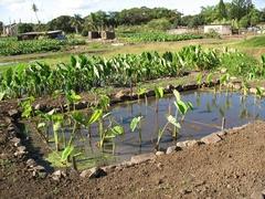 【ハワイ・プランテーション・ビレッジ】古代ハワイの時代からハワイの食文化に根付くタロの水田