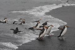 【マッコーリー島】ペンギン