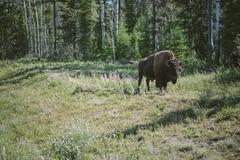 【ウッド・バッファロー国立公園】最大規模のバイソンの群れが住む