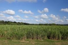 【トリニダーとロス・インヘニオス渓谷】サトウキビ畑