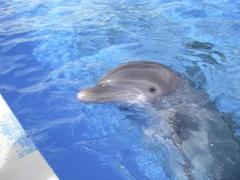 【シーライフ・パーク・ハワイ】シーライフパークのイルカ