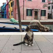 【ブラーノ島】猫も多い