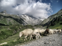 【ピレネー山脈-ペルデュ山】放牧が盛んなピレネー山脈