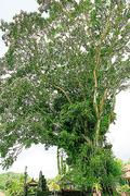 【ウルン・ダヌ・ブラタン寺院】パワーが宿るガジュマルの大木